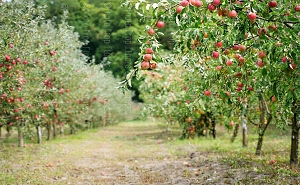 Apple Orchard (Horizontal Design)