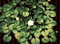 Lily Pad 1 (Horizontal Design)