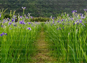 Okinawa Iris Field 1  (Horizontal Design)