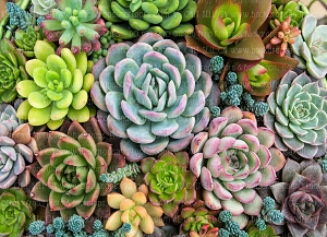 Succulents 1 (Horizontal Design)