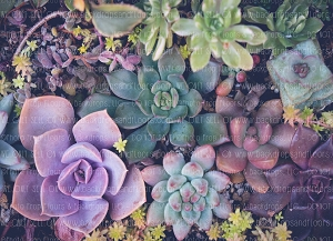 Succulents 4 (Horizontal Design)